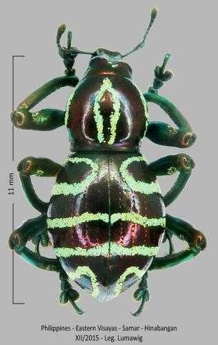 Les Pachyrhynchus Pachyrhynchus(3)
