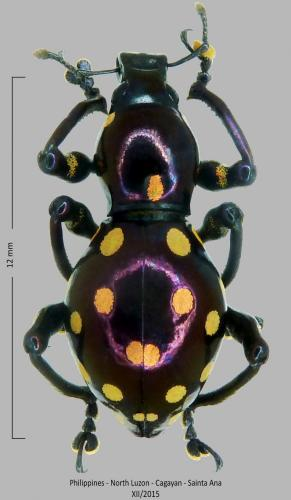 Les Pachyrhynchus Pachyrhynchus_chlorites