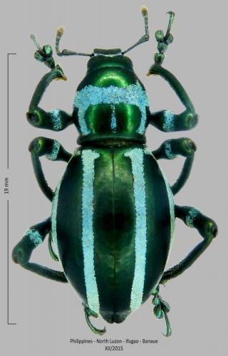Les Pachyrhynchus Pachyrhynchus_inclytus