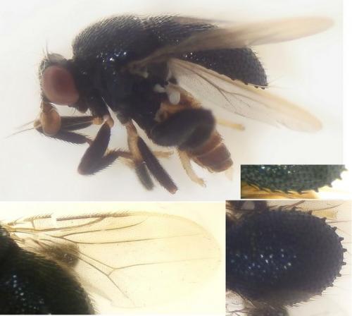www.galerie-insecte.org/galerie/image/dos252/big/cf.%20Nomba-Chloropidae--.jpg