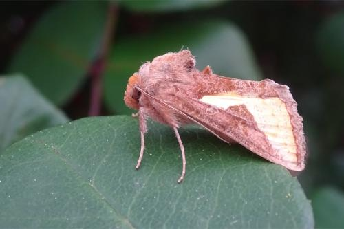 Plusiinae... ?? [Thysanoplusia orichalcea] Papillon