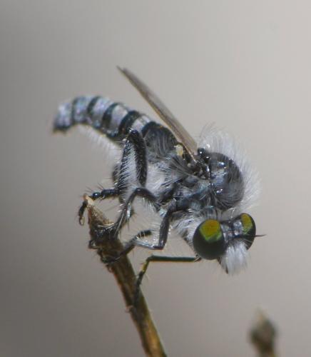 www.galerie-insecte.org/galerie/image/dos258/big/2020-05-22%20NDdlG%20Diptera%208%20mm%20Asilidae%203.JPG