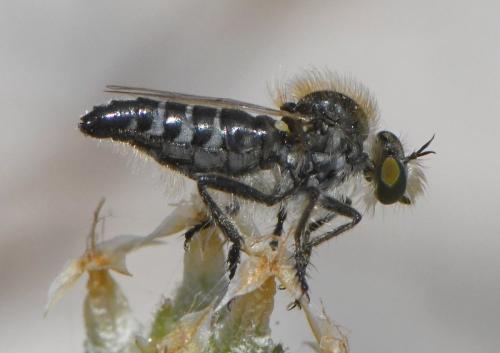 www.galerie-insecte.org/galerie/image/dos259/big/2020-05-31%20NDdlG%20Diptera%207%20a%208%20mm%20Asilidae%20Eriopogon%20laniger%202.JPG
