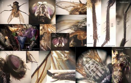 www.galerie-insecte.org/galerie/image/dos259/big/Hydrotaea%20meridionalis%20001%20-%202020.06.07%20Grangette%205D%20Lausanne%20Vaud%20Suisse.jpg