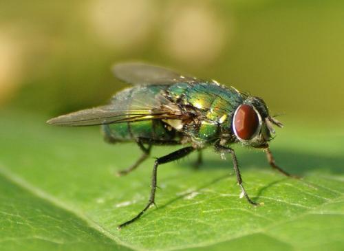 Lucilia sp mouche verte chrysomya le monde des insectes - Invasion de mouches vertes ...