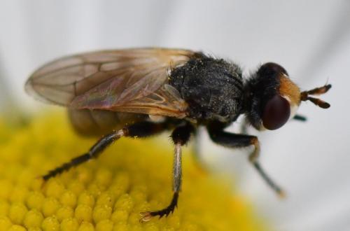 www.galerie-insecte.org/galerie/image/dos260/big/T.atra.jpg