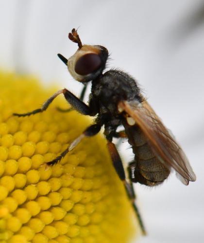 www.galerie-insecte.org/galerie/image/dos260/big/Thecophora%20atra.jpg
