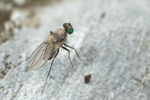 www.galerie-insecte.org/galerie/image/dos262/big/Dip.jpg