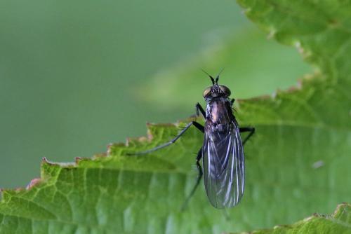 www.galerie-insecte.org/galerie/image/dos263/big/Dolichopus%20sp%201%20Moosch%20photo%20Mar%20Solari.jpg