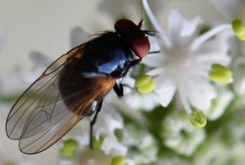 www.galerie-insecte.org/galerie/image/dos264/big/508%20Lauxa%202.jpg