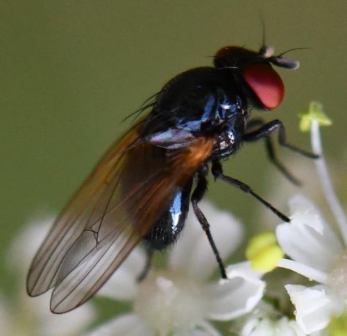 www.galerie-insecte.org/galerie/image/dos264/big/508%20Lauxa.jpg