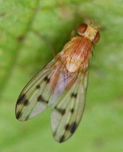www.galerie-insecte.org/galerie/image/dos267/big/Homoneura%20notata%201009(1).jpg