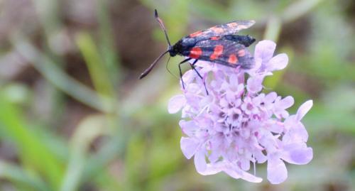 [Zygaena filipendulae/transalpina]   Papillon