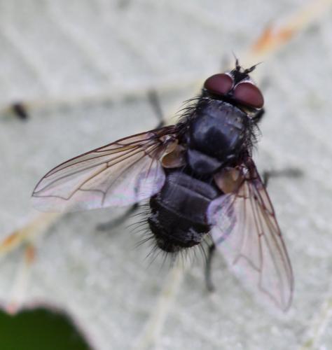 www.galerie-insecte.org/galerie/image/dos274/big/Muscidae%201908.jpg