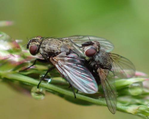 www.galerie-insecte.org/galerie/image/dos275/big/P5033085-mouches-copula%20-%20copie.jpg