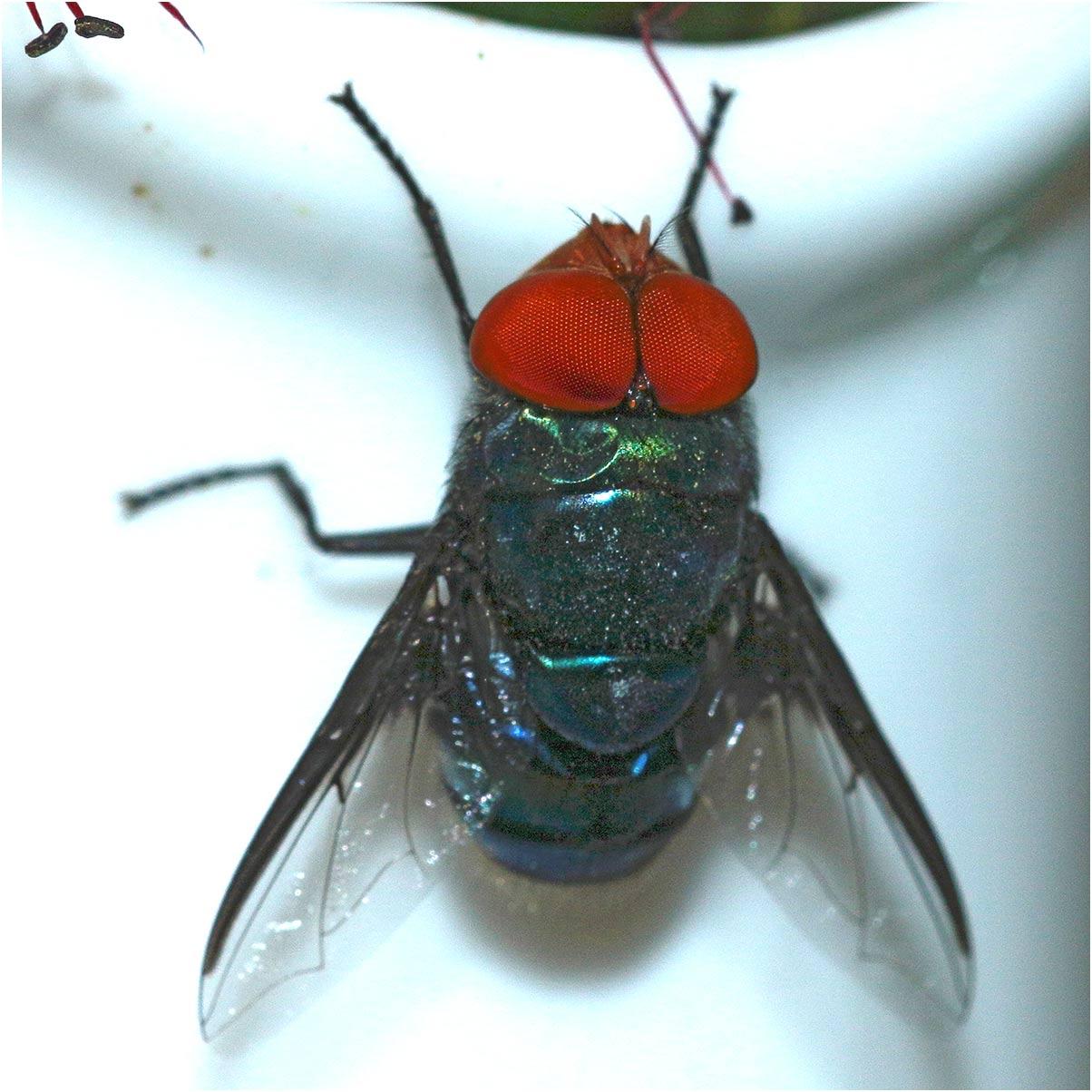 www.galerie-insecte.org/galerie/image/dos275/temp/moucheethiopie.jpg