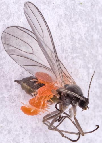 Sciaridae%20test%20rail%202.2.lmdi.jpg