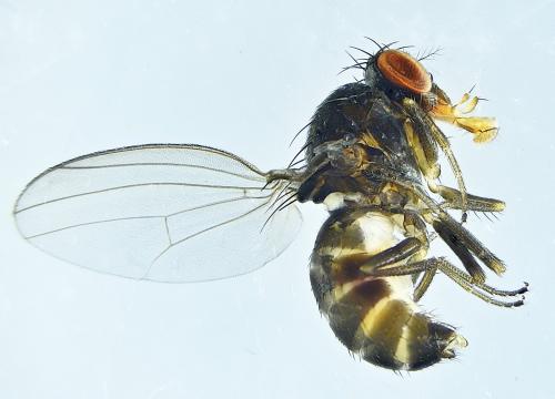 www.galerie-insecte.org/galerie/image/dos279/big/Diptera%20m%20hl%20ad%20x%2025-Lucon%20jardin%20composteur-14%2004%202021.jpg