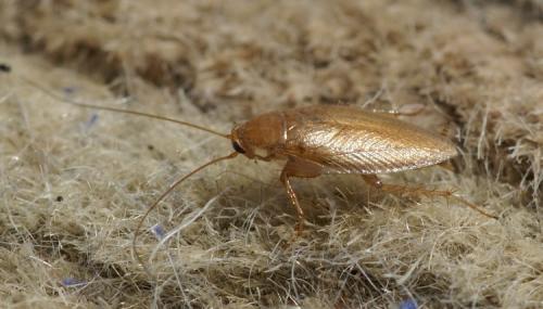 ectobius pallidus une blatte dor e le monde des insectes. Black Bedroom Furniture Sets. Home Design Ideas
