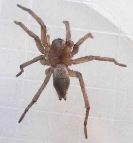Drassodes sp une araign e dans la maison le monde des for Araignees dans maison