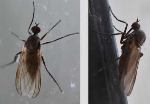 www.galerie-insecte.org/galerie/image/dos280/big/Empis%202204.jpg