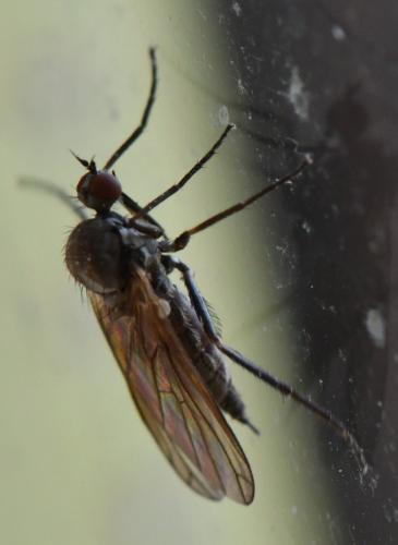 www.galerie-insecte.org/galerie/image/dos280/big/Empis%205%202204.jpg