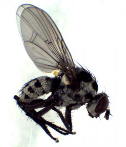 www.galerie-insecte.org/galerie/image/dos281/big/Anthomyia_pontdeColas_14mai212.jpg