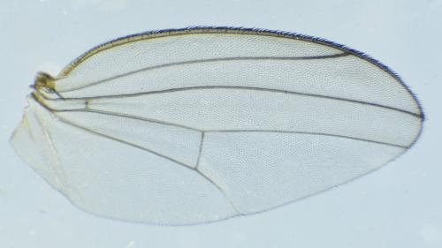 www.galerie-insecte.org/galerie/image/dos282/big/Diptera%20m%20ad%2002%20x%204-Lucon%20jardin%20composteur-14%2004%202021%2001.jpg