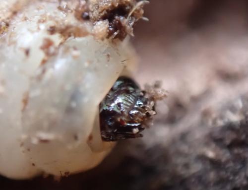 www.galerie-insecte.org/galerie/image/dos282/big/P5222708-koitesse-larve%20-%20copie.jpg