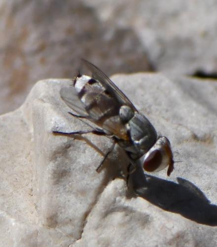 www.galerie-insecte.org/galerie/image/dos284/big/2021-06-25%20Roy%20dEspagne%20Diptera%206%20mm%20Sarcophagidae%20Miltogramminae%20Craticulina%20sp.%201.JPG