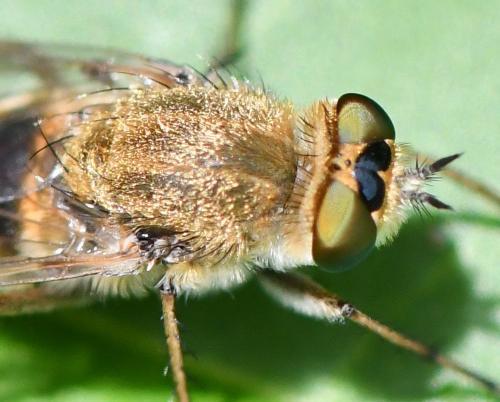 www.galerie-insecte.org/galerie/image/dos285/big/T.nobilitata%200807.jpg