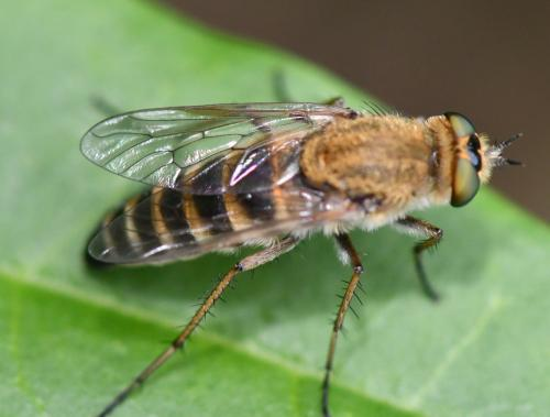www.galerie-insecte.org/galerie/image/dos285/big/Thereva%20nobilitata%2013%200807.jpg
