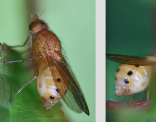 www.galerie-insecte.org/galerie/image/dos288/big/S.%20sexpunctata%202108.jpg