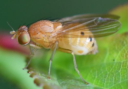 www.galerie-insecte.org/galerie/image/dos288/big/Sapromyza%20sexpunctata%206%202108.jpg