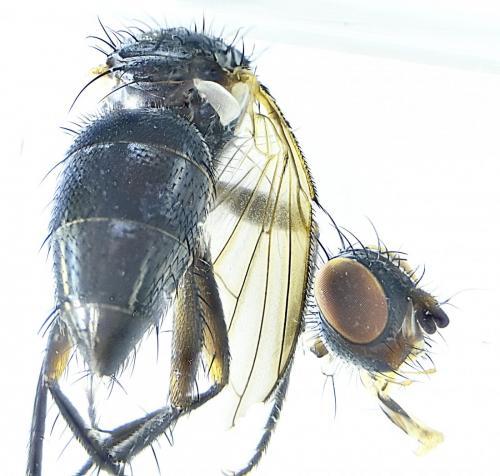 www.galerie-insecte.org/galerie/image/dos288/big/Tachinidae%20Hd%20x%2025-Barbatre-RNN%20Polder%20Sebastopol%20Z6-%2007%2006%202021.jpg