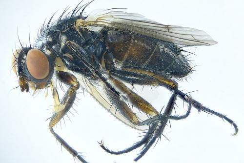 www.galerie-insecte.org/galerie/image/dos288/big/Tachinidae%20Hld%20x%2025-Barbatre-RNN%20Polder%20Sebastopol%20Z6-%2007%2006%202021.jpg