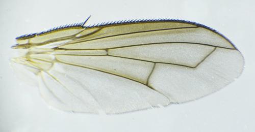www.galerie-insecte.org/galerie/image/dos288/big/Tachinidae%20ag%20x%204-Barbatre-RNN%20Polder%20Sebastopol%20Z6-%2007%2006%202021.jpg