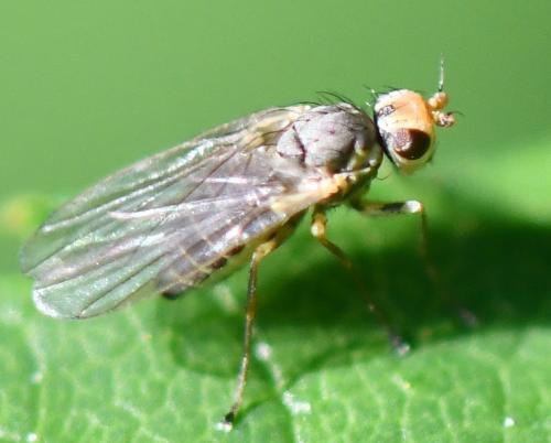 www.galerie-insecte.org/galerie/image/dos290/big/Phytomyza%20sp.%2035%201709.jpg