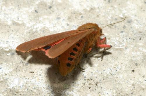 Phragmatobia fuliginosa papillon de nuit qui fait le mort le monde des insectes - Invasion papillon de nuit ...