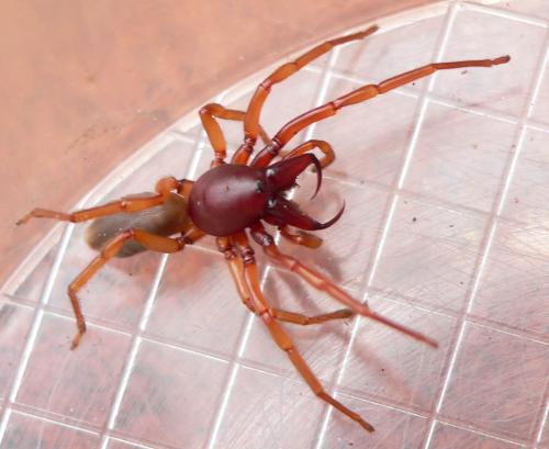 dysdera crocata l 39 attaque le monde des insectes. Black Bedroom Furniture Sets. Home Design Ideas