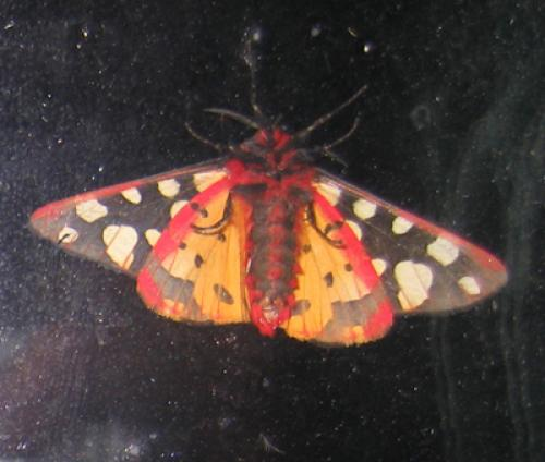 Arctia villica papillon de nuit color le monde des insectes - Invasion papillon de nuit ...