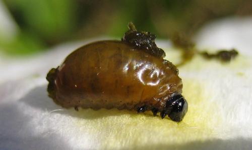 lilioceris lilii larves le monde des insectes. Black Bedroom Furniture Sets. Home Design Ideas