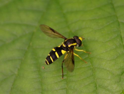 Xanthogramma pedissequum noire et jaune xanthogramma - Mouche jaune et noire ...