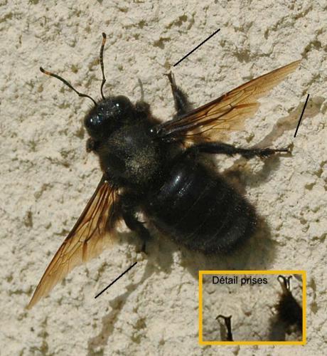 xylocopa violacea abeille charpenti re en vend e le. Black Bedroom Furniture Sets. Home Design Ideas