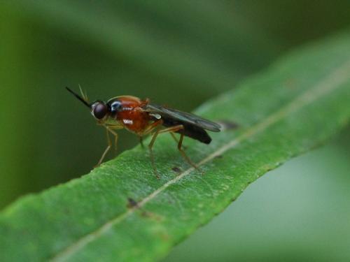 Loxoceraalbiseta