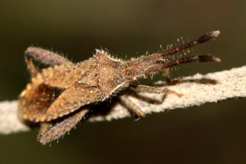 coriomeris hirticornis il a fini le monde des insectes. Black Bedroom Furniture Sets. Home Design Ideas