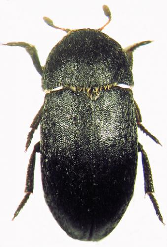 dermestid beetles pictures