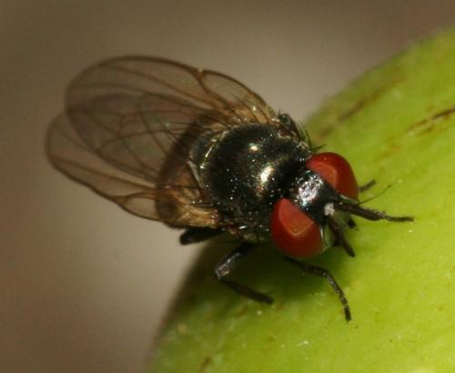 lonchaeidae petite mouche noire handicapped le monde des insectes. Black Bedroom Furniture Sets. Home Design Ideas