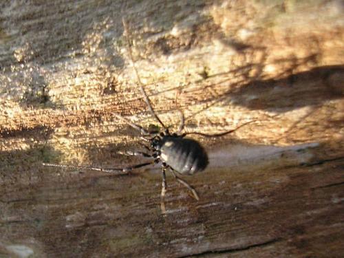 nemastoma lugubre nemastoma lugubre le monde des insectes. Black Bedroom Furniture Sets. Home Design Ideas