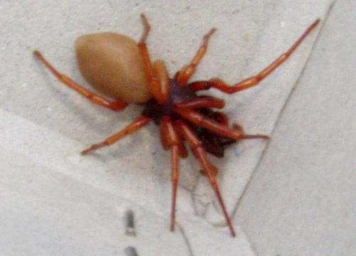 Dysdera sp araign e couleur rouge orang le monde des for Araigne sauteuse maison